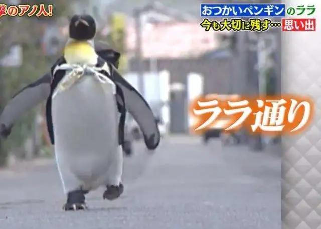 日本小镇的网红企鹅,每天雷打不动去鱼店讨鱼吃